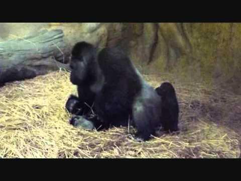 上野動物園ゴリラ_赤ちゃんコモモお父さんと遊ぼう(ぐるぐる編)