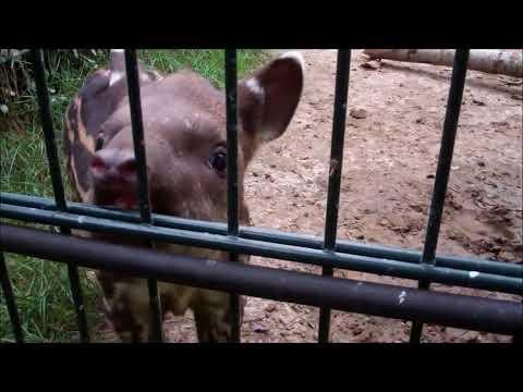 GaiaZOO - Jonge tapir