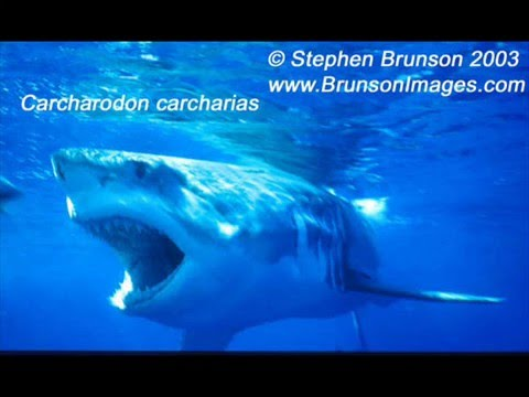 Megalodon - Giant Of The Sea Video