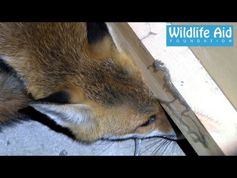 Fox inside a Coffee Machine - Animal Rescue