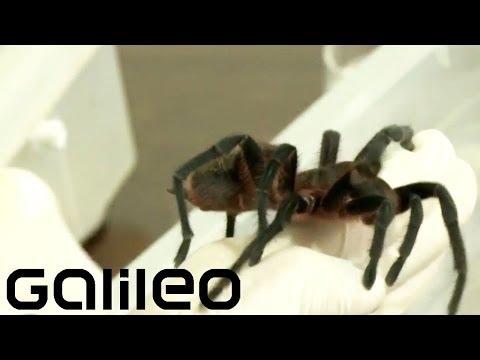 Tier Monster Brasilien   Galileo video