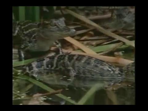 El reino de los cocodrilos(Documental)Parte1