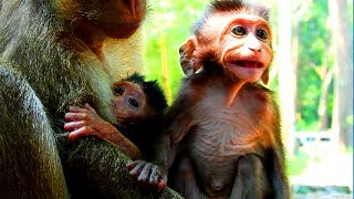 Why baby jealous newborn like this? Why monkey drag baby daily? Spoil feeling so sad #798