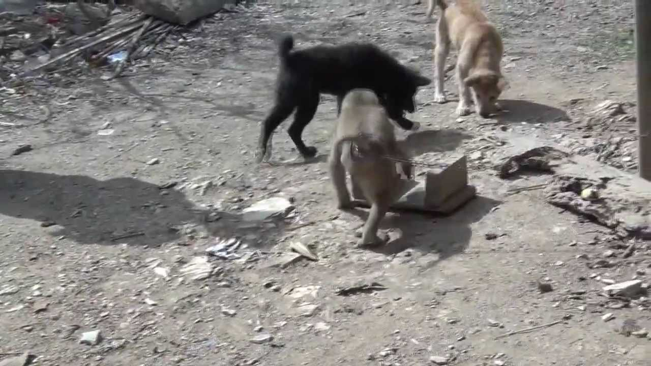 Angry Monkeys Fighting Monkey Fighting With Dogs