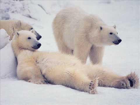 Бред о медведях