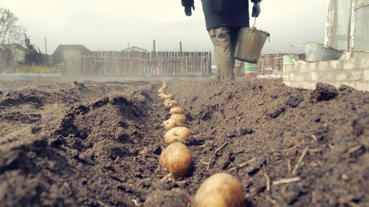 ландшафтный дизайн при посадке картофеля
