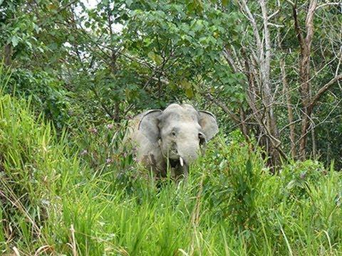 GPS tracking of Malaysian elephants