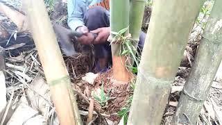 Proses Pengambilan Bambu Petuk