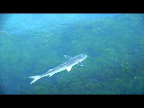 Подводная охота на пеленгаса mpg