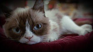 How Grumpy Cat Became a Famous Meme