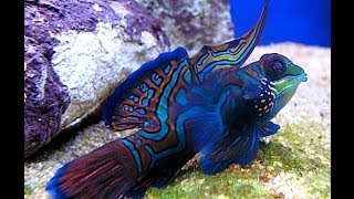 The Most Colorful Fish In The World / Mandarinfish / Synchiropus Splendidus