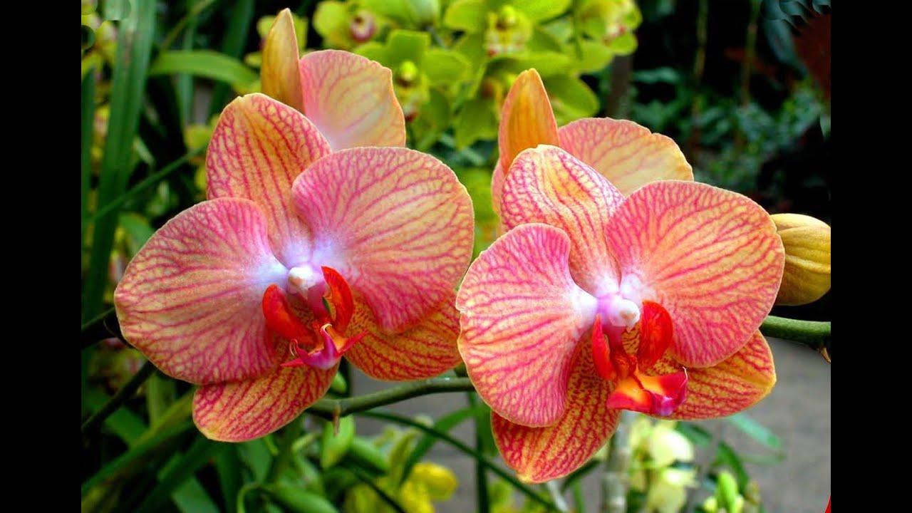 виды орхидей фото и название дендробиум уход в домашних условиях