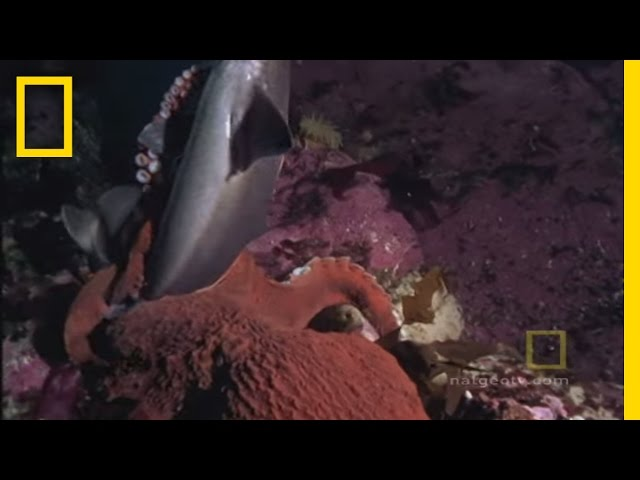 Octopus Kills Shark | National Geographic