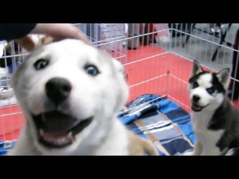 Лучшие щенки хаски, акита-ину, алабаи, шпицы и д.р. на выставке собак (Puppies show)