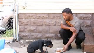 Aggressive Rottweiler Puppy