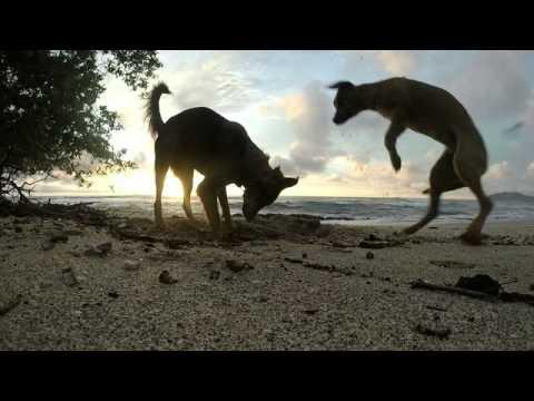 Tamarindo Beach, Costa Rica - Puppies vs. Crab!