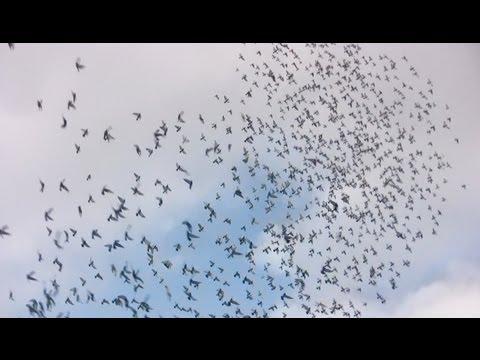 Posta Güvercini Yarışları - 2013 Hendek Yarışı - (Racing Pigeons, Brieftauben, Palomas)