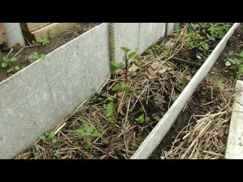 Выращивание винограда в «земляных корытах» (не путать с траншеями) схемы и отзывы