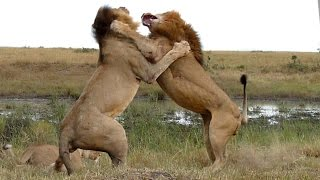 Wildlife: Two Lions Fight to See Who's King!
