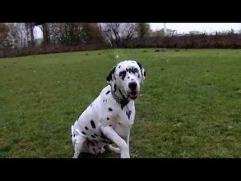 Dieting dalmatian