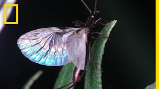 Earwig Wings are Origami-Like | National Geographic
