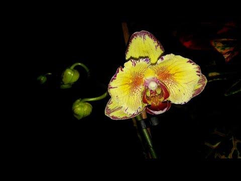 Новые орхидеи!Интрига и Калейдоскоп.