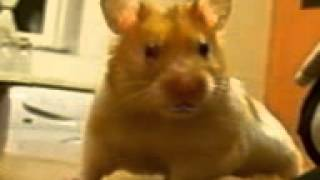 Sexy Harry The Hamster Happy Birthday Video