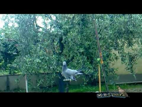 Caccia al colombaccio Piccioni Racchette 2012
