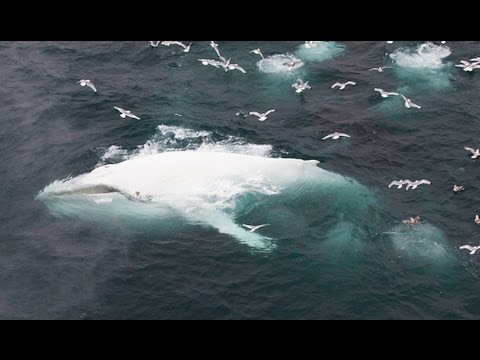 Extremely Rare White Whale Spotted Off The Coast Of Spitsbergen