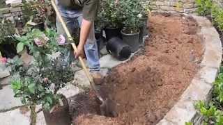 Rosa actualización jardín y se levantó la plantación del arbusto