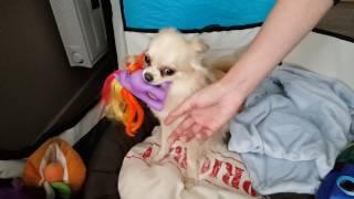 Funny Angry Chihuahua #1