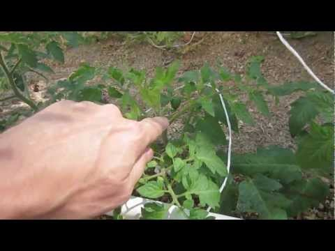 How to Prune Tomatoes, Cucumbers & Melons for Greatest Yields