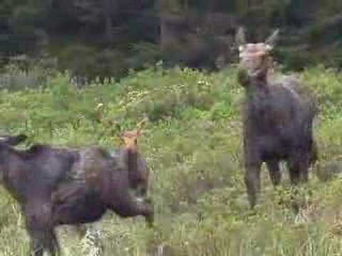 Moose Kicks Out Yearling