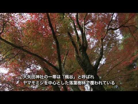 岐阜県の巨木・銘木06 楓谷のヤマモミジ樹林