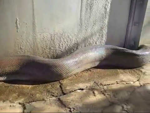 Encontrada MUERTA la serpiente mas grande del mundo