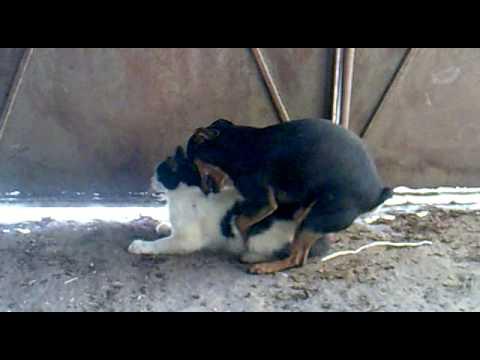 Un perro haciendo el amor con una gata youtube - Animales con personas apareandose ...