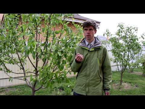 Как и чем удобрять плодовые деревья - на примере Груши