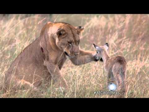image vidéo Une lionne adopte un bébé antilope après avoir tué sa mère