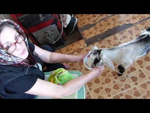 Как правильно кормить козлят/Будни в деревне/Козоводство