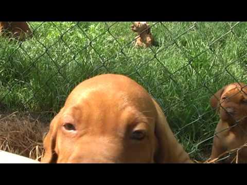 Junge Vizsla Welpen Hunde