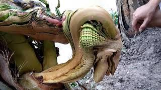 cây dừa mộc đầu rồng đuôi phụng