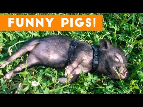Top Funniest Pig Videos of 2017 Weekly Compilation | Funny Pet Videos