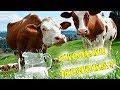 Дела текущие. Не успеваем... Сколько корова дает молока??? / Семья в деревне