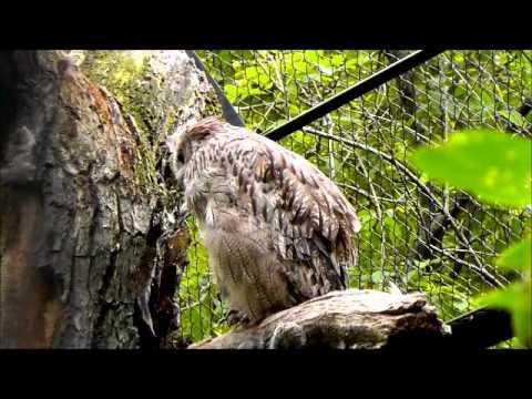 2011年7月24日 釧路市動物園 シマフクロウ