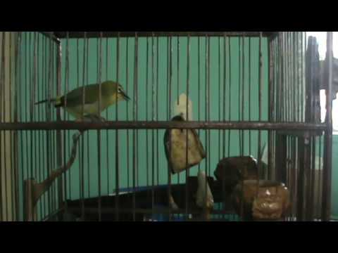 Pleci Ngerol + Ngalas Mantap video