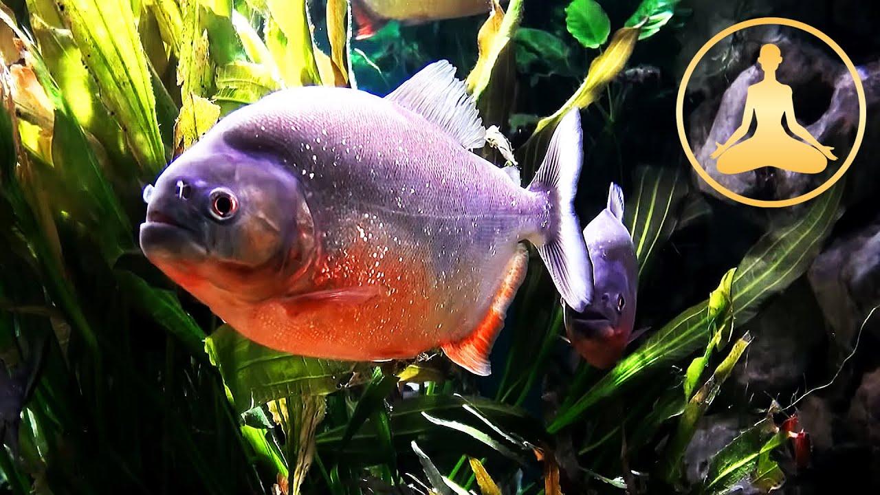 Piranha Fish Tank Piranha Fish Tank tv