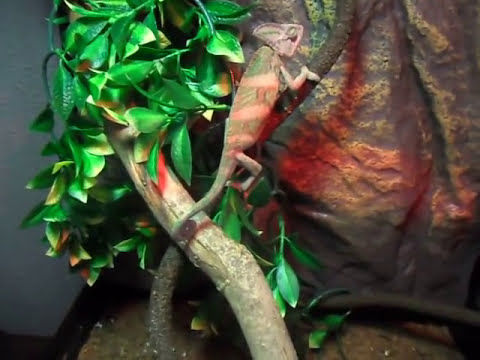Como cuidar un camaleon