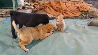 Cute Gestures Of Baby Monkey Playing With Father And Two Puppy