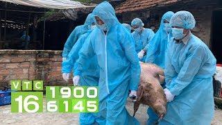 Bất lực phòng chống, dịch tả lợn Châu Phi còn lây lan | VCT16