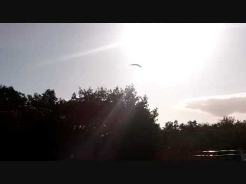 Osprey at Marina.wmv Video
